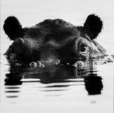 Hippo EYEs....alluring.....