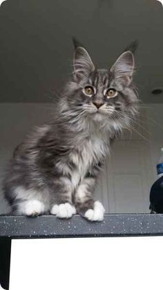 chat maine coon silver tabby curieux etonne