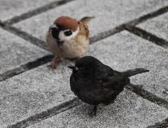 A melanistic sparrow and his friend. Cute Birds, Pretty Birds, Small Birds, Little Birds, Beautiful Birds, Pretty Animals, Black Animals, Animals And Pets, Cute Animals