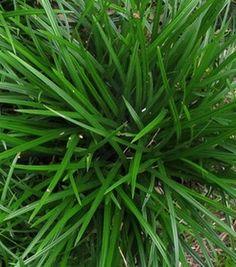 De wintergroene siergrassen zijn uitstekend als bodembedekker te gebruiken, ideaal voor een onderhoudsvriendelijke tuin