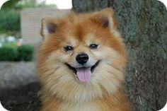 Rudy is an adoptable Pomeranian Dog in London, KY. Rudy He is 6 yr young and is sweet. He needs to be around adults. He has alot of love to give someone who understands this breed. His adoption fee fu...