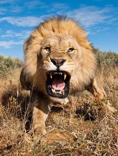 Photographer: Smile, Kitty!  Lion: Dinnertime >=D  ..yikes!