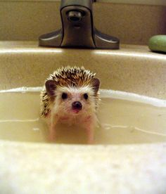 Imagine having a tiny hedgehog for a pet? I would love one (they are so cute!) but my Rosie might mistake little hedgehog for a toy. Hedgehog Bath, Cute Hedgehog, Happy Hedgehog, Cute Creatures, Beautiful Creatures, Animals Beautiful, Beautiful Boys, Cute Baby Animals, Animals And Pets