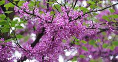 Árbol del amor: ornamental de pocos cuidados