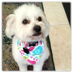 """BICHON RESCUE BRIGADE Orange, CA 92867 Contact this Organization ABOUT ZOE Zoe is as cute as a button, approximately 18 mo old and 14 lbs. She's a very sweet girl who likes to play fetch and tug-o-war and LOVES her squeaky toys! She is very smart and learns new things very quickly. From her Foster Mom """"We've already taught her to fetch, use the doggie door, to sit and to stay and we've only had her since Thursday evening… and she comes when you call her… Zooooooeeeeee!"""" She lies quietly…"""