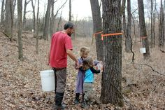 Collecting black walnut sap . Although sugar maples are the tree of choice for syrup many other types of trees can be tapped to make syrup, including silver and red maples, hickory, birch, box elder, and walnuts