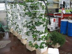 """Hydroponic """"stackers"""" on Bato Buckets with Strawberries..."""