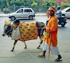 indien | ... Kuh auf einer Straße in Delhi, Indien. Ein Brahmane führt sie