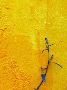 yellow.quenalbertini: Yellow Wall