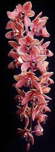 Cymbidium Pacific Sparkle Orchids