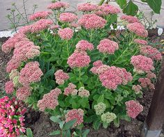 Pretty Sedum ' Autumn Joy' is an easy-to-grow perennial that turns brick red during the fall. Description from pinterest.com. I searched for this on bing.com/images