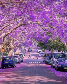 "https://lifenow.rocks >>>>Click the bio link + Tag a friend<<<<<  lifenow.rocks ""Morning walk under the beautiful purple Jacaranda tree tunnel in North Sydney #McDougallStreet""   Photography by © Peera Maytha (@peeramaytha) #earthofficial . . . . . . . . . . VIA @earthofficial  #wanderlust #picoftheday #livetravelchannel #igers #photographylover #nature #usa #corner #passionpassport #wonderful_places #naturelover #inspiredbyyou #sky #beachesnresorts #workout #cityview #ne.."