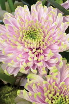 A pink-and-green chrysanthemum named after Princess Charlotte is unveiled. The bloom, produced by Dutch company Deliflor, will be exhibited at the Chelsea Flower Show next month and available to buy in branches of Waitrose.