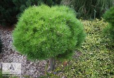 Pinus nigra 'Bambino' (P. n. 'Gaelle Bregeon') -