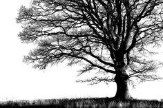 Alone Tree - b/w - Photowall - Photowall
