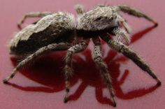ugly spider