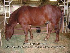 American Livestock Breeds Conservancy: Suffolk Horse