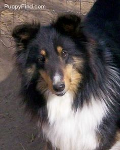 """Our """"new"""" addition...a four year old Sheltie :-)"""