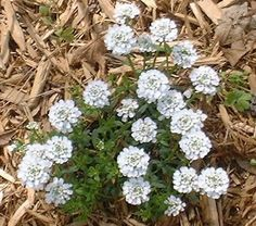 Candytuft is an evergreen groundcover. Plant in clumps for color splashes in the spring. Zone 9 Gardening, Organic Gardening, Backyard Plants, Garden Plants, Evergreen Groundcover, Knockout Roses, Perennial Vegetables, Herbs For Health, Chinese Herbs