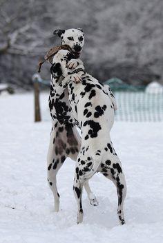Dalmatians in snow