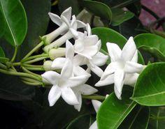 Jasmin de Madagascar ou liane de cire. Stephanotis floribunda