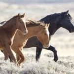 Wild Horses - Please Comment about the BLM's Planned Roundup at Great Divide Basin