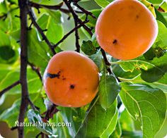 Citrus fruit significantly reduces breast cancer risk in latest systematic review