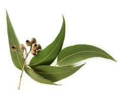 """Within our website, you can read about the many beneficial properties and huge variety of use for Tea Tree Oil, which has been called """"a first aid kit in a bottle"""". Eucalyptus Oil, Eucalyptus Leaves, Botanical Drawings, Botanical Illustration, Australian Wildflowers, Tea Tree Oil, Watercolor Flowers, Watercolour, Wild Flowers"""