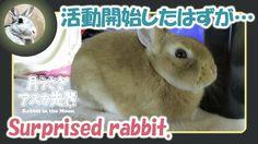 活動開始したはずが・・・【ウサギのだいだい 】 Surprised rabbit. 2016年1月3日