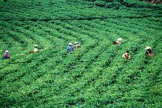 Tea Estate, Java    Overhead of tea-pickers, Tea Estate, Gunung Lawu.