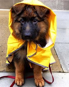Things that make you go AWW! Like puppies, bunnies, babies, and so on. A place for really cute pictures and videos! Gsd Puppies, Cute Puppies, Cute Dogs, Cute Funny Animals, Cute Baby Animals, Beautiful Dogs, Animals Beautiful, Cute German Shepherd Puppies, German Shepherds