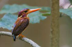 https://flic.kr/p/C4vQnH | 800_1320 | Sulawesi dwarf kingfisher