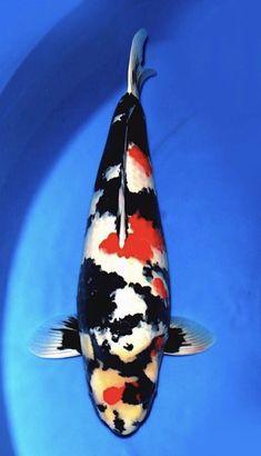 Carpe Koi, Japanese Koi, Koi Carp, Nihon, Aquariums, Animals And Pets, Fancy, Fish, Garden