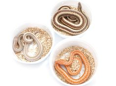 Snakes are unbelievably simple to care for, and are a terrific introduction to reptiles Colorful Snakes, Small Snakes, Rosy Boa, Reptile House, Teacup Pigs, Beautiful Snakes, Reptiles And Amphibians, Love Pet, Snakes