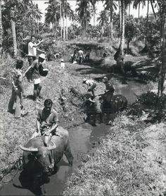 Press Photo Men on water buffalo working