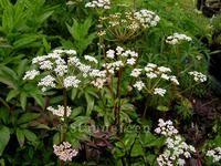 Ligusticum scoticum Skotsk lostilk Beskrivelse:  Måned: Juni-juli Højde: 35-40 cm Placering: Sol-halvskygge - veldrænet- almindelig havejord  Smuk skærmplante - egentlig en krydderurt. Den har lette hvide skærme (lyserøde knopper) og tykke blade.