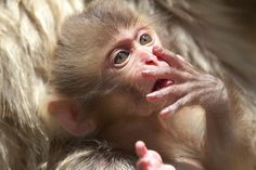 Baby Snow Monkeys of Japan