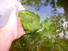Before you can master string algae, you have to learn to recognize string algae in your pond. String algae is a filamentous (stringy filament) species of plant, and is most often found hanging off the sides of rocks or coveringMore... Hydrogen Peroxide Skin, Koi Fish Food, Pond Weed, Pond Algae, Green Pond, Outdoor Ponds, Building A Pond, Pond Liner, Pond Water Features