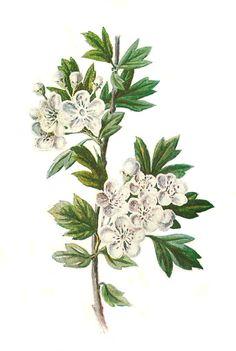 Antique Images: hawthorn flower