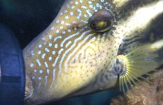 Kiss my strobe if you must; 'aggro' leatherjackets, like their troppo triggerfish kin, occur in SA   Underwater photographer:  David Muirhead