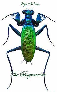Mantidae : Metallycus splendidus PAIR