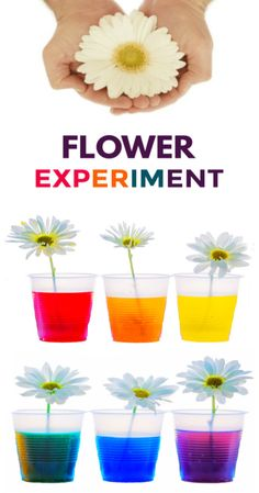 Experiment for Kids Learn about plants and how they thrive with the color changing flower experiment for kids! This flower rainbow is made using food coloring and makes a great science fair project for elementary!Learn about plants. Elementary Science Experiments, Science Activities For Kids, Science Fair Projects, Projects For Kids, Crafts For Kids, Food Science, Science Art, Art Projects, Quick Crafts