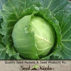 Cabbage - Early Round Dutch (Brassica oleracea)