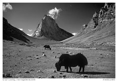 Yaks and Gumburanjan monolith, Zanskar, Jammu and Kashmir. India