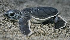 baby green sea turtles - Google Search