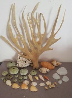 Buy Sea Shells & rare sea grass from Jeffreys Bay (cleaned handpicked) beach, driftwood, urchins aqarium for Driftwood, Sea Shells, Grass, Cleaning, Antiques, Beach, Antiquities, Antique, The Beach