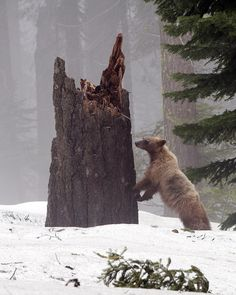Bear in Sequoia by MichaelGat on Flickr.