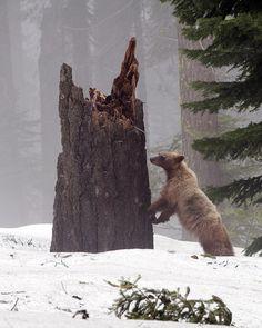 Bear in Sequoia by MichaelGat on Flickr.