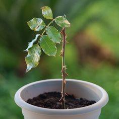 Ο πολλαπλασιασμός της τριανταφυλλιάς Trees To Plant, Flower Decorations, Seeds, Home And Garden, Nature, Flowers, Plants, Gardens, Rose Trees
