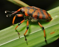 Bamboo Weevil (Curculionidae) by itchydogimages - 500 000 VIEWS!, via Flickr